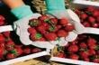 Агенцията по заетостта набира берачки на ягоди за Испания